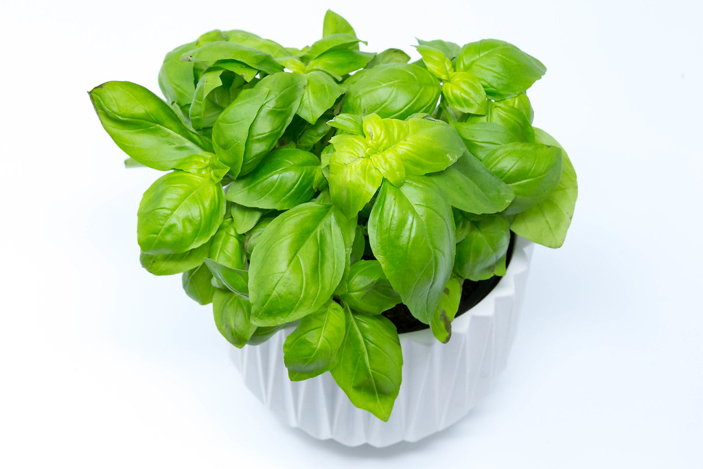 How to grow basil in a pot?