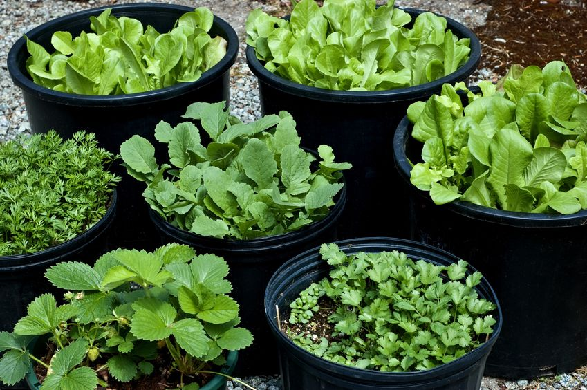 cheap container vegetable gaedening