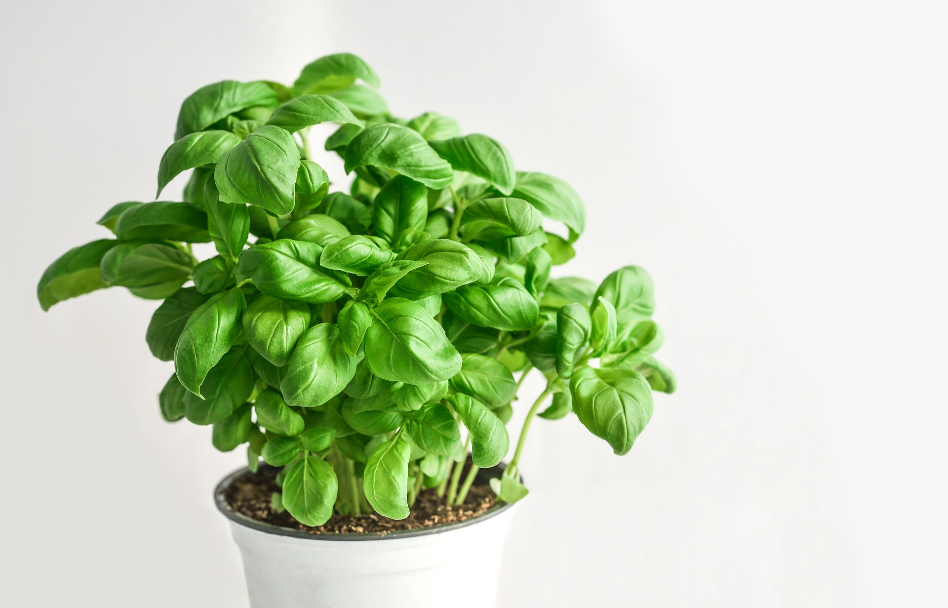 Grow Basil From Cuttings.