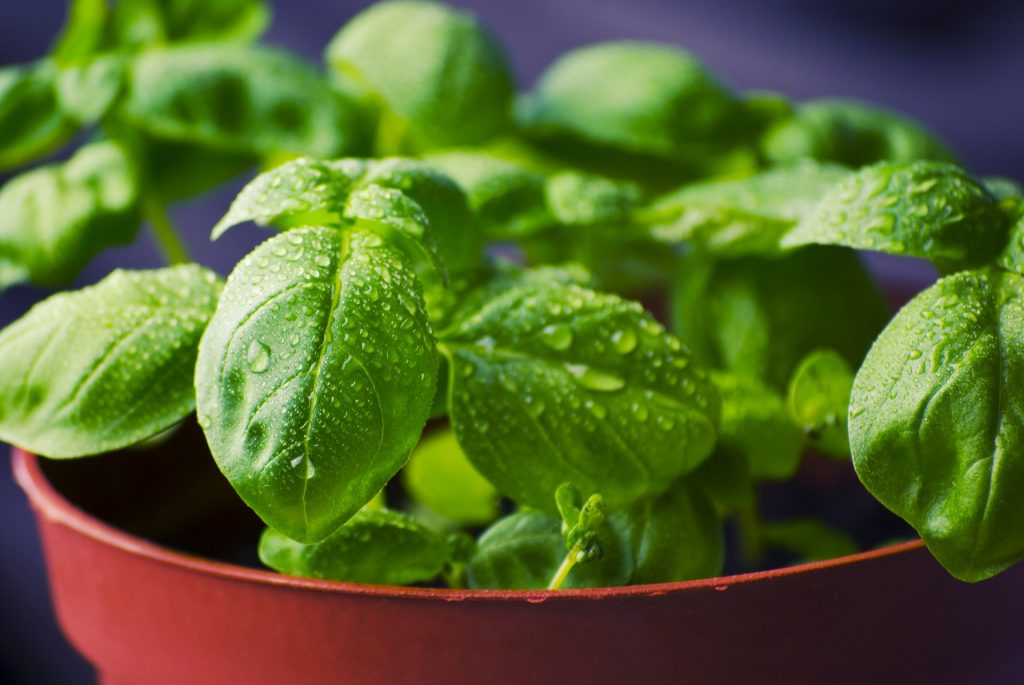 How to grow basil from cuttings?