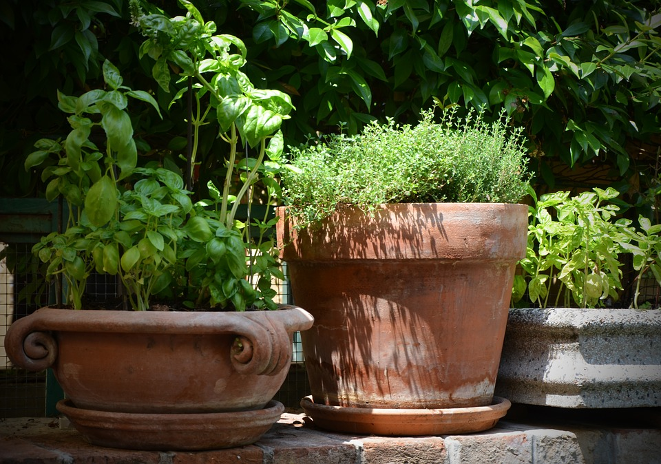 How to grow thyme in a pot?