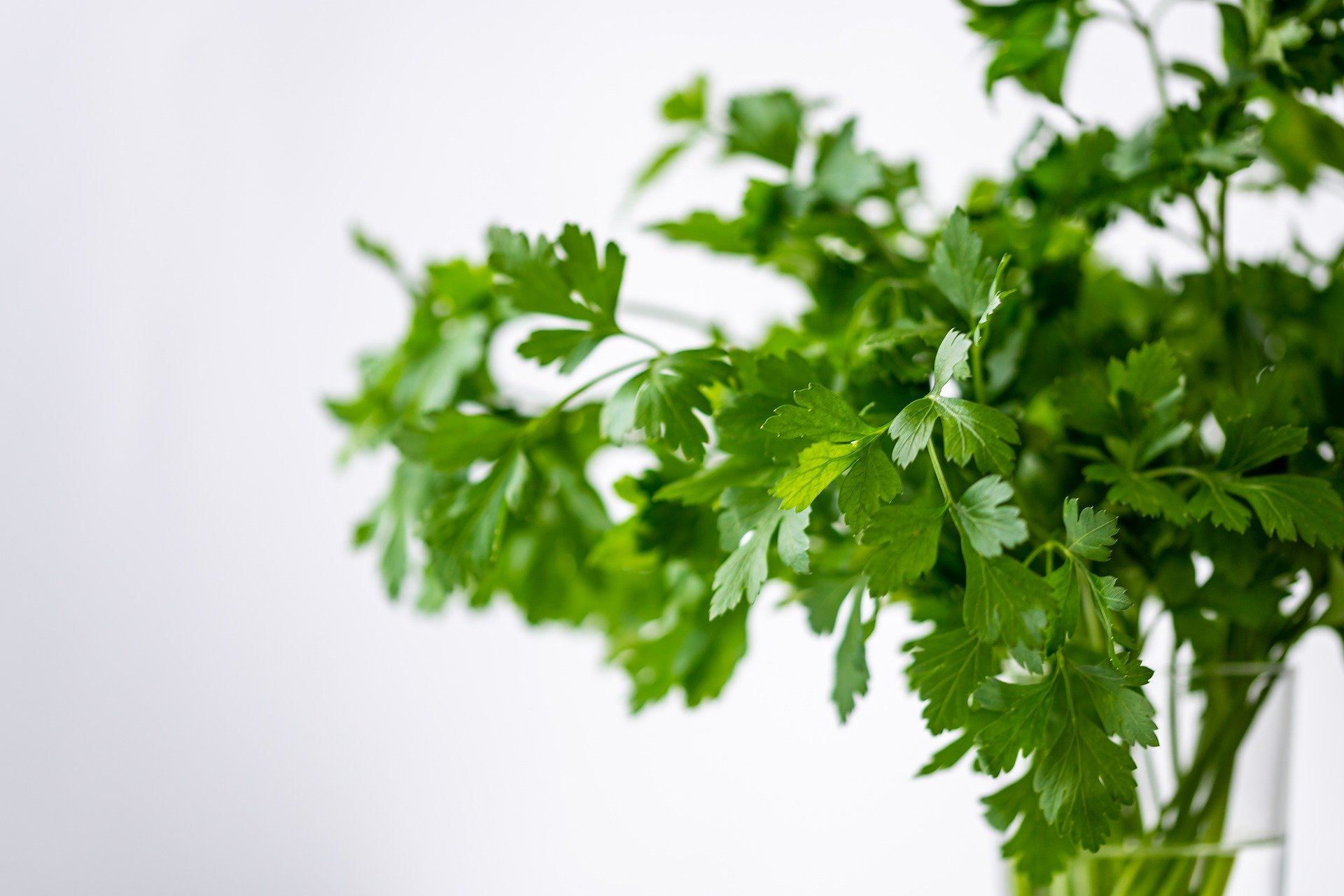 how to grow parsley indoors.